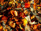 Signs Of Autumn  #8  -  Leaves by braces, Photography->Nature gallery