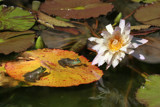 Lily Pad For Two by rahto, Photography->Reptiles/amphibians gallery
