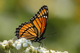 Viceroy Butterfly by egggray, photography->butterflies gallery