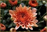 Apricot-Peach Mum by trixxie17, photography->flowers gallery