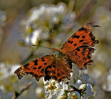 Comma by biffobear, photography->butterflies gallery