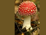 Fly Agaric by pom1, Photography->Mushrooms gallery