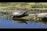 Harmon Sunner by Nikoneer, photography->reptiles/amphibians gallery