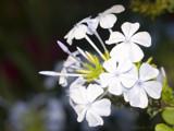 Plumbago auriculata var. Alba by ryzst, Photography->Flowers gallery
