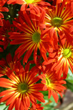 Pretty Mums by jerseygurl, photography->flowers gallery