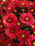 Red Mums by Pistos, photography->flowers gallery