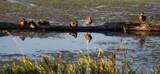 Duck Perch by Pistos, photography->birds gallery