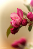 Apple Blossoms by doughlas, photography->flowers gallery