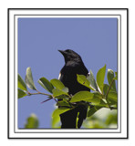 Red Winged Blackbird by karrid, Photography->Birds gallery