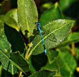 Azure Damselfly by biffobear, photography->insects/spiders gallery