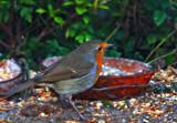 Erithacus rubecula by biffobear, Photography->Birds gallery