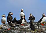 Farne islands 1 by biffobear, Photography->Birds gallery