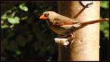 Lady Cardinal by ccmerino, Photography->Birds gallery