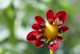 Bonneyville Garden Dahlia by tigger3, photography->flowers gallery
