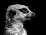 Mugshot Meerkat by trisbert, Photography->Animals gallery