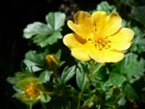 Cinquefoil by LynEve, Photography->Flowers gallery