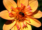 Dahlia Beautiful #6 by tigger3, photography->flowers gallery