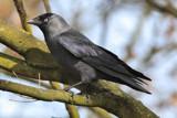 Kouw by Paul_Gerritsen, Photography->Birds gallery