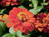 Redlands Zinnia by trixxie17, photography->flowers gallery