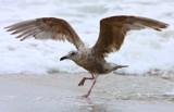 Daniel-san Gull by legster69, Photography->Birds gallery
