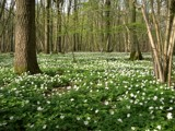Wood anemones by krt, Photography->Landscape gallery