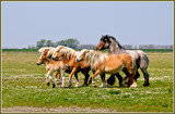 Zeeland Wild Horses 01, Family On The Run by corngrowth, photography->animals gallery
