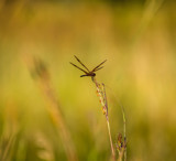 Dragonfly on a grass stem by Pistos, photography->insects/spiders gallery
