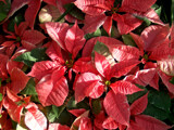 Dappled Poinsettias by trixxie17, holidays->christmas gallery