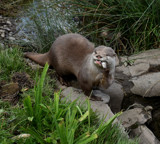 Asian short clawed otter... by biffobear, photography->animals gallery