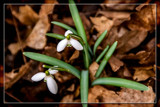 First Sign Of Spring by corngrowth, photography->flowers gallery