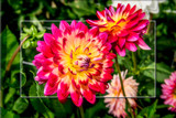 Dahlia Show 72 by corngrowth, photography->flowers gallery