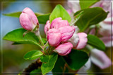 F² Apple Blossom by corngrowth, photography->flowers gallery