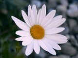 Defiant Daisy by mimi, Photography->Flowers gallery