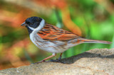 Male Reed Bunting... by biffobear, photography->birds gallery