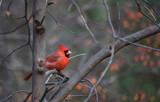 Simplified Cardinal by Jimbobedsel, photography->manipulation gallery