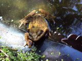 Mr Frog 2 by cat62, Photography->Reptiles/amphibians gallery