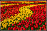 Tulips Everywhere by corngrowth, photography->flowers gallery