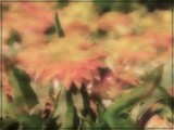Impressions of Strawflowers by trixxie17, photography->manipulation gallery