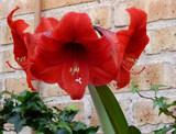 Amaryllis by trixxie17, photography->flowers gallery