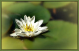 Water Lily by LynEve, Photography->Flowers gallery