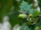 Mighty Oaks; Little Acorns by braces, Photography->Nature gallery