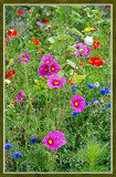 Summer Wildflowers 10 by corngrowth, Photography->Flowers gallery