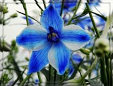 Unknown Blue Flower by trixxie17, photography->flowers gallery