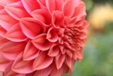 Autumn Dahlia by LynEve, photography->flowers gallery