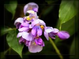 Hardenbergia violacea by LynEve, photography->flowers gallery