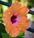 Peach Hibiscus by Pistos, photography->flowers gallery