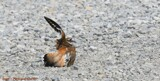 Killdeer #2 by tigger3, photography->birds gallery