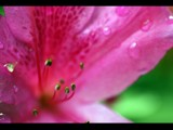 Pink by Samatar, photography->flowers gallery