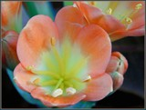 Clivia in the Rainbow by trixxie17, photography->flowers gallery