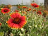 Indian Blanket by CanoeGuru, Photography->Flowers gallery